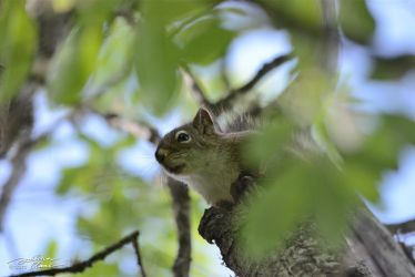 Curious Squirrel by themanitou