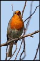 Robin Singing by cycoze