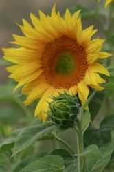 Sunflower 2 by FoxStox