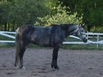 Standardbred x warmblood gelding 3 by wakedeadman