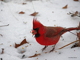 Cardinal Red by Mogrianne