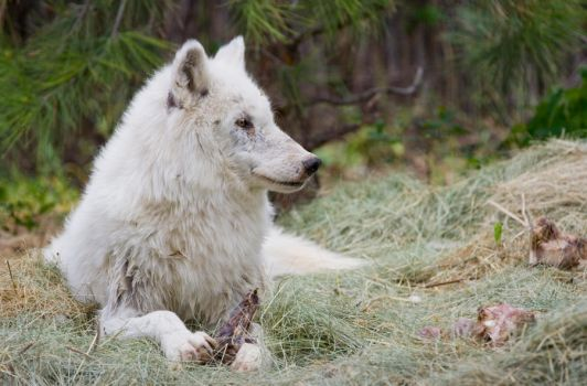 White Wolf revisited by Waya37