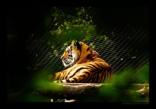 Tiger by fade-out