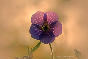Tender summer blossom in the evening sun by MT-Photografien