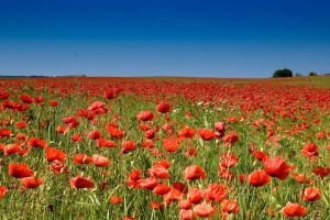 poppy field by gbog