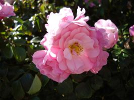 Pink Rose 3 by AsariStock