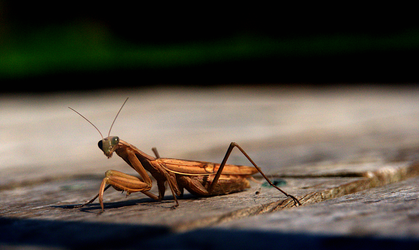 Praying Mantis greeting by barefootliam