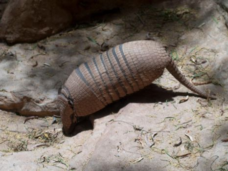 Armadillo by wob86