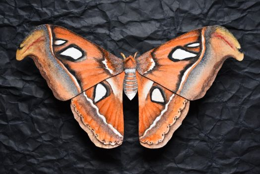 Attacus Atlas by kbauerart