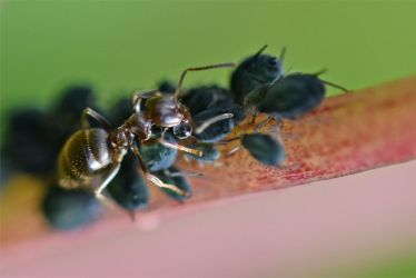 1124 Ant collecting secretions on aphids by RealMantis