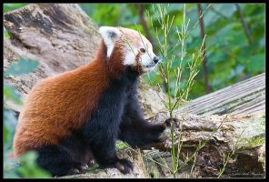 Red Panda by Haywood-Photography