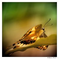 butterfly by titus-fr