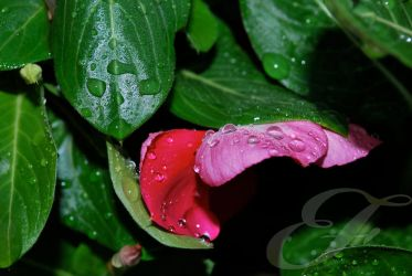 Dew on the Vinca by iAmLovely
