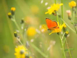 Nature miracles a Scarce Copper by roisabborrar