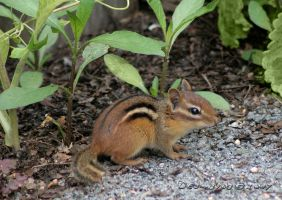 Chipmunk by desmo100