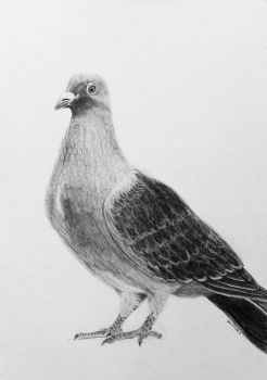 Pigeon drawing as a gift by Anbeads