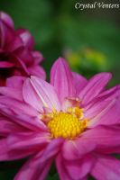 Pink Dahlia 4 by poetcrystaldawn