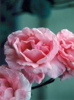 Roses by photowizard