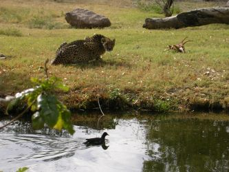 Cheetah and duck by scottVee