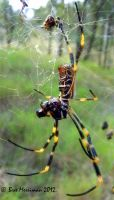 Golden Orb Weaver by BreeSpawn