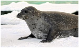 Curious Harbor Seal II by Joy-of-markers