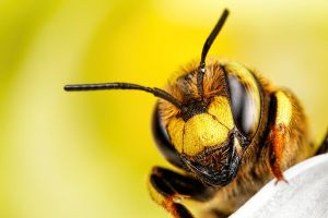 Wool Carder Bee Series 2-3 by dalantech