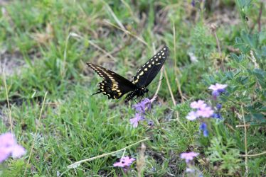 Pipevine  Swallowtail 2 by hclausen