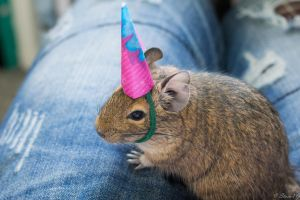 Party Degu by StainXY
