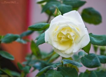 White rose by FrancescaDelfino