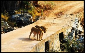 Lions by Lutro