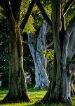The old Beech Tree by jmbroscombe