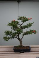 Bonsai tree 8 by Friesians9230