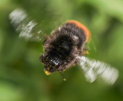 Flight of the bumble bee by Vitaloverdose