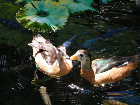 kissing ducks by GriffinChimm