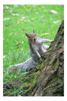 Grey Squirrel by e-s-d