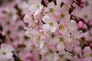 Pretty Pink Blossom by photographybypixie