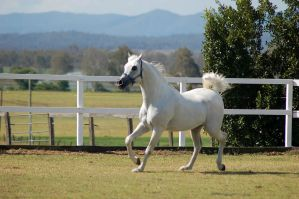 GE Arab white trot side 3/4 view by Chunga-Stock