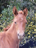 Quarter Horse Foal by psngirl