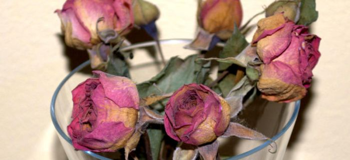 pink roses by Isidora
