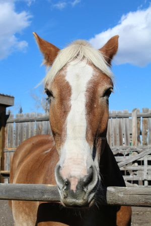 Why the long face? Belgian Horse