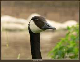 Canadian Goose by irrational1