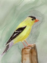 American Goldfinch Watercolor Painting by HaleyGottardo