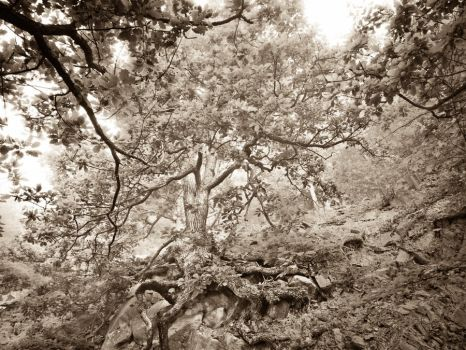 Oak tree in morning mist  #2 by zeitspuren