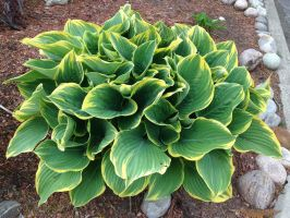 Green and yellow hosta by Ripplin