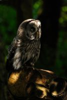 Dappled Owl. by quaddie
