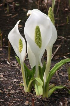 White Skunk Cabbage 2012.2 by bengtsgard