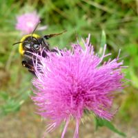 Bumble-bee on flower by wolfkART