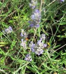 TWO BEES ON LAVENDER by GeaAusten