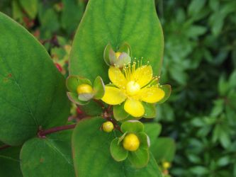 St John's Wort by jadedlioness