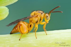 Chalcidid wasp by ColinHuttonPhoto